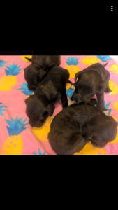 Beautiful Portuguese water dog puppies for sale
