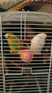 2 male budgies for rehoming, with flight cage