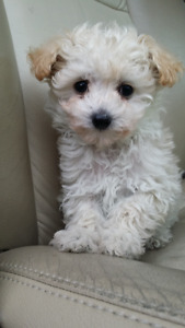 POODLE  pups TOY /mini 4 to 9 lbs