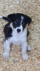 Border Collie | Adopt Dogs & Puppies Locally in Calgary