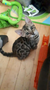 Stunning 13 week old tica registered Bengal ready to go