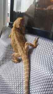 Leatherback bearded dragon Kitchener / Waterloo Kitchener Area image 4