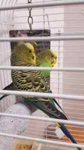 2 Budgies(make me an offer)