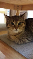4-5 Month Old Rescue Kitten - Spayed/Vaccinated/Dewormed