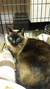 Large Dark Seal Point Siamese Found in Hespeler