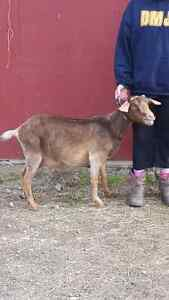 Proven doe for sale