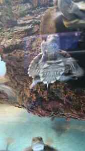Mississippi Mep Turtle for Sale.MUST GO!!NEED GONE ASAP!