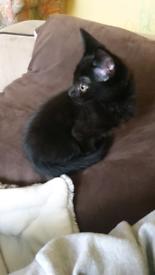 Havana Brown Kitten