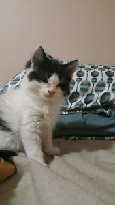 kitten for sale $100 each 2 month old, msg only pls 4034430400