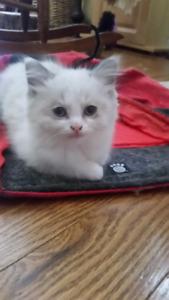 ADORABLE RAGDOLL MUNCHKIN Kittens NOW READY for forever homes