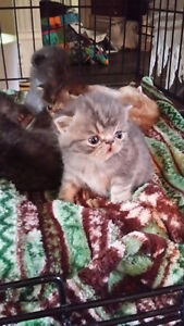 EXOTIC SHORTHAIR KITTENS BY Registered Long-Time Breeder. Prince George British Columbia image 1