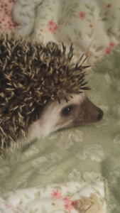Hedgie Ready For Adoption