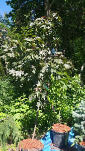 Trees For Sale( Red Maple,Colorado Blue Spruce,Weeping Spruce)