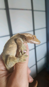 Long eyelash crested gecko