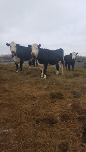 Bred cows & bred heifers for sale.