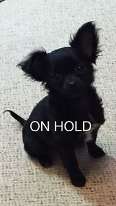 WOW! Very Tiny CKC reg. LC 4 month old female Chihuahua