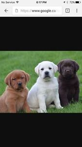 Looking for a 10-12 week old lab puppy
