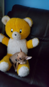 3 Chihuahuas mâles a vendre et a s'offrir pour Noël