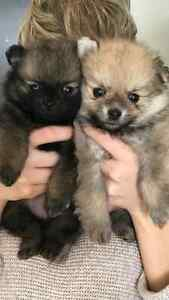 Miniture Pomeranian Puppies (1 Boy + 1 Girl)