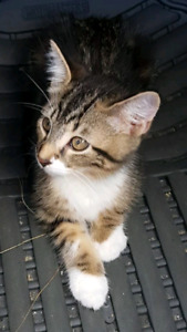 Kitten with cat supplies for 10$