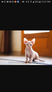 Chaton Sphynx a vendre