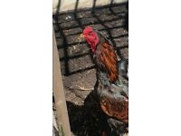 3 Aseel Chickens for sale