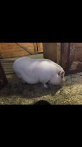 Cochon vietnamien femelle à vendre