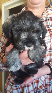 Killer the Miniture Schnauzer Puppy
