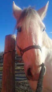 11 Year old Registered Grey Percheron Mare