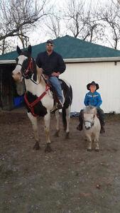 Paint gelding needs new forever home Kitchener / Waterloo Kitchener Area image 2