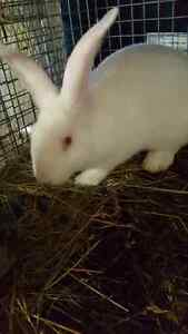 meat rabbits or pet rabbits for sale