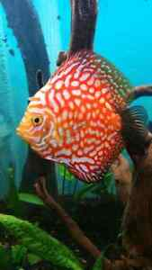 3 inch pigeon blood discus fish
