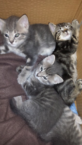 2 FREE TABBY KITTENS NEED A HOME