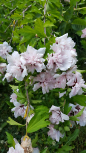 Beautiful and unique Rose of Sharon plants