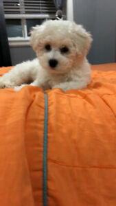 Bichon Frise for sale in Langley BC