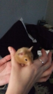 Two baby Female Syrian Hamsters FREE
