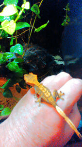 Baby Harlequin Gecko and Large Enclosure $250 Firm