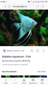 Looking for breeding pairs of angle fish