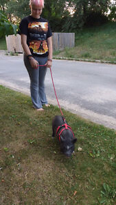 "Female ""mini"" Pot Belly Pig for sale"