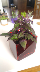Purple passion plant in a red pot