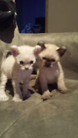 3Chattons Male Highlands lynx a vendre