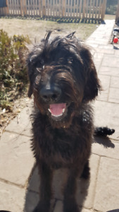 8 month old Labradoodle Puppy for sale