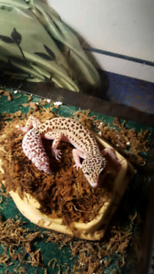 1 year old leopard gecko and enclosure