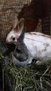 URGENT! Bunnies for sale, young and old!