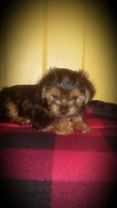 yorkie puppies 1 Boy and 1 girl left!!!!!