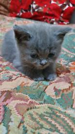 Pure British Shorthair Kitten