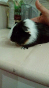 3 baby guinea pigs for sale!