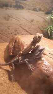 GREAT DEAL bearded dragons  Windsor Region Ontario image 1