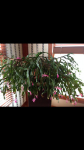 Wanted Christmas cactus