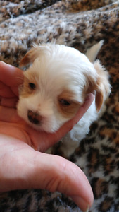 BEAUTIFUL MORKIES ~ ONLY 1 LEFT ~